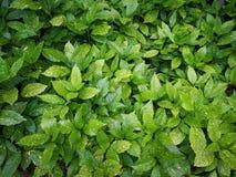 Aucuba japonica Variegata 库存照片
