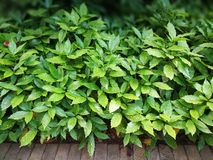 Aucuba japonica Variegata 免版税库存图片