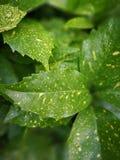 Aucuba japonica Variegata Royalty Free Stock Images