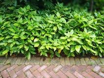 Aucuba japonica Variegata Royalty Free Stock Photography