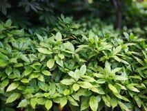 Aucubajaponica Variegata Royalty-vrije Stock Afbeelding