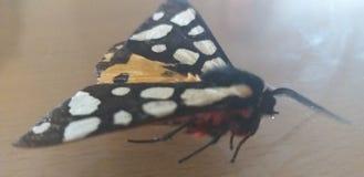 Aucun papillon de nom qui a cassé sa jambe photo libre de droits