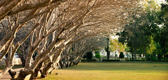 Aucune rangée d'arbre de feuilles dans le jardin Image libre de droits