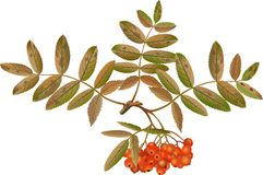 Aucuparia del Sorbus Immagine Stock