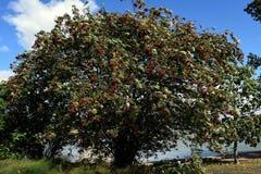 Aucuparia del Sorbus Fotos de archivo