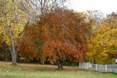 Aucuparia del Sorbus, serbal Imagen de archivo libre de regalías