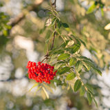 Aucuparia do Sorbus Fotografia de Stock