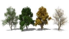 Aucuparia Sorbus (Four Seasons) Διανυσματική απεικόνιση