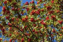 Aucuparia van Sorbus Royalty-vrije Stock Foto
