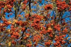 Aucuparia van Sorbus Royalty-vrije Stock Afbeelding