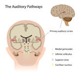 The auditory pathways. Diagram of the auditory pathway in the brain, eps10 Stock Photography