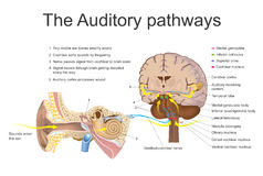 The auditory pathways. The auditory system is the sensory system for the sense of hearing. It includes both the sensory organs the ears and the auditory parts Stock Image