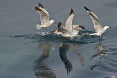 Audoin´s Gulls Stock Photos