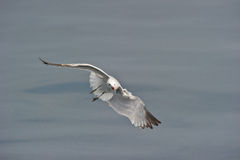 Audoin´s Gull Stock Images