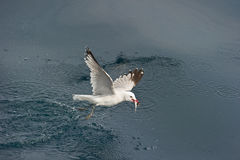 Audoin´s Gull. Audouin´s Gull (Larus audouinii) with a fish at the mediterranean sea stock photography
