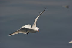 Audoin´s Gull Stock Image