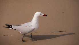 Audoins Gull Royalty Free Stock Photo
