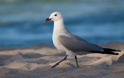 Free Audouin S Gull Royalty Free Stock Images - 27372849