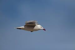 Audouin's gull Stock Photos