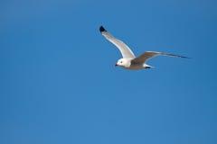 Audouin's gull Stock Photo