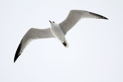 Audouin's Gull Flying Royalty Free Stock Images