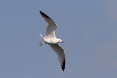 Audouin's Gull Flying Stock Photo