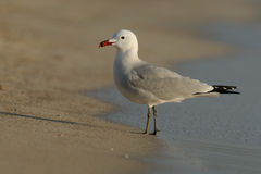 Audouin's Gull (Ichthyaetus Audouinii) Royalty Free Stock Photos