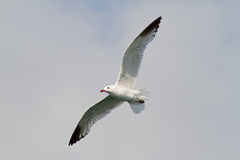 Audouin's Gull Royalty Free Stock Images