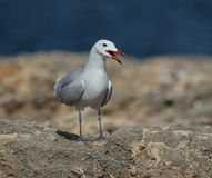 Audouin's Gull Stock Images