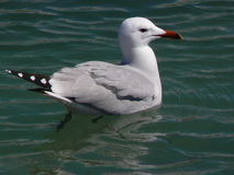 Audouin`s gull. Stock Images