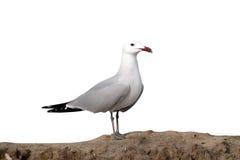 Audouin's gull, Larus audouinii Stock Images