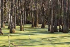 Audubon Cypress紫树产树胶之树沼泽 库存图片
