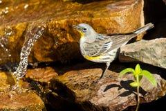 audubon θηλυκή συλβία του s στοκ εικόνα με δικαίωμα ελεύθερης χρήσης