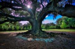 Audubon Park Oak Tree, NOLA Stock Photo