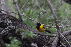 Audubon's Oriole (Icterus graduacauda) Royalty Free Stock Images