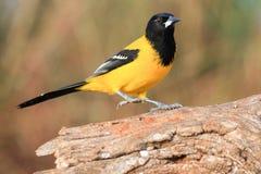 Audubon`s Oriole on log royalty free stock image