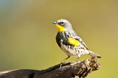 Audubon's Warbler. Adult Male Yellow-Rumped (Audubon's) Warbler Perched on Old Log Stock Photography