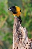 Audubon ` s wilga w pionowo fotografii Zdjęcie Stock