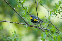 Audubon's Yellow-rumped Warbler. On a branch stock image