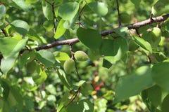 Auf dem Aprikosenbaum reifen die Früchte Stockfotos