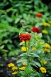Auf dem Blumenbeet rotes cynium auf dem Hintergrund von gelben Ringelblumen stockfotografie