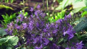Auf dem Blumenbeet wachsenden Glockenblume Portenschlagiana-Purpur stock video footage