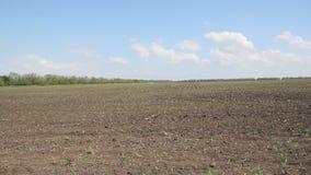 Auf dem Feld steigt Mais stock video