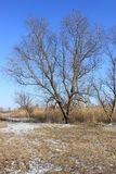 Auf dem Hintergrund des großen Baums des blauen Himmels in den Schilfen im Winter Stockbilder