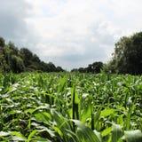 Auf dem Maisgebiet Stockfoto