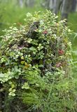 Auf dem Stumpf eines Baums baut Moosbeeren an lizenzfreie stockfotografie