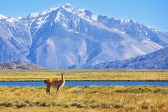 Auf den Banken des Weiden lassens des Lamas lizenzfreie stockfotografie