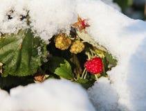 Auf den grünen Blättern und den Beeren fielen Himbeeren erster Schnee Lizenzfreie Stockbilder