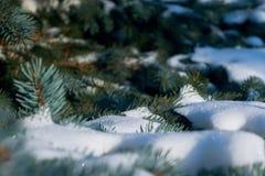 Auf den grünen Niederlassungen der Fichte oder der Kiefer ist schöner weißer Schnee Stockfoto