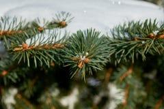 Auf den grünen Niederlassungen der Fichte oder der Kiefer ist schöner weißer Schnee Lizenzfreie Stockfotografie